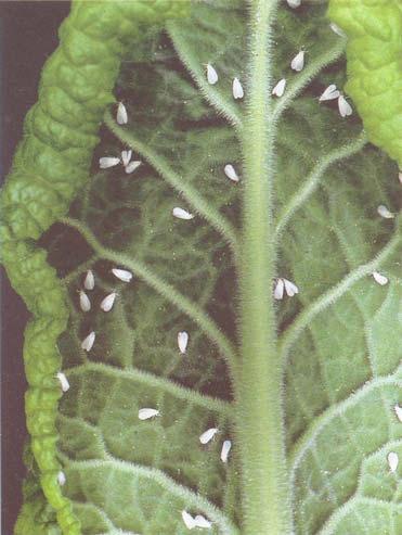 Когда высаживать раннюю капустув